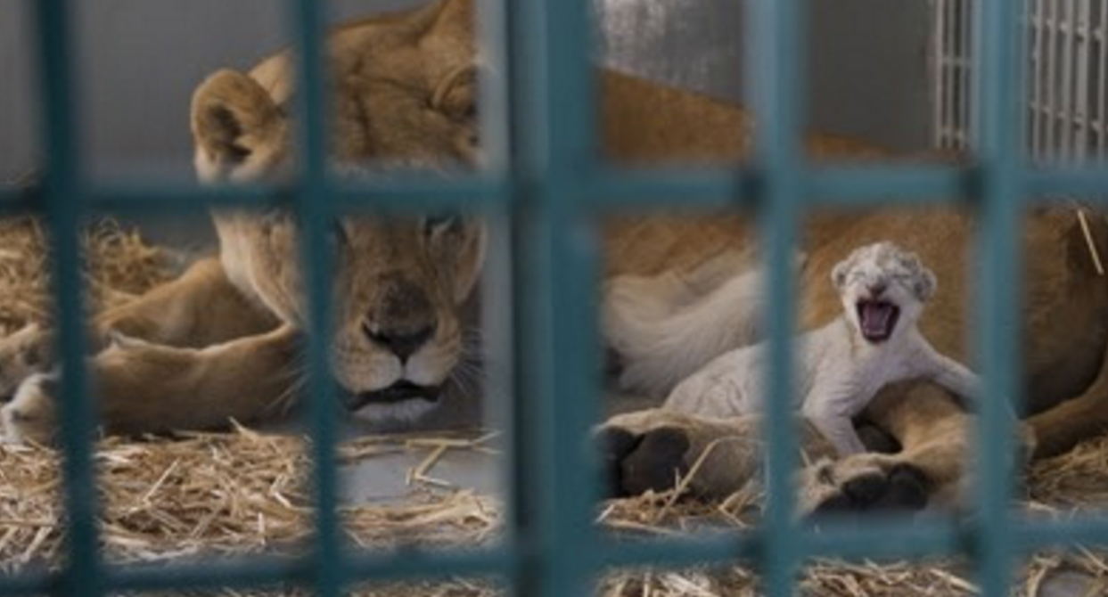 Lioness Dana from Aleppo gave birth