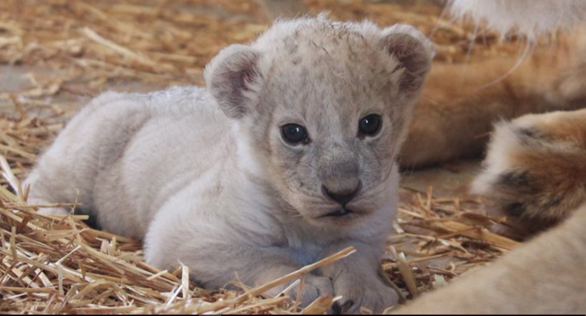 Hajar lion cub sudden death