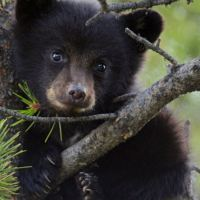 Russia: Bear cub sadistic killing unpunished