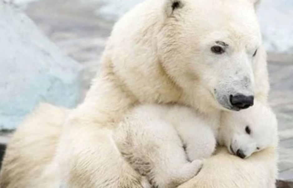 White bear with cub