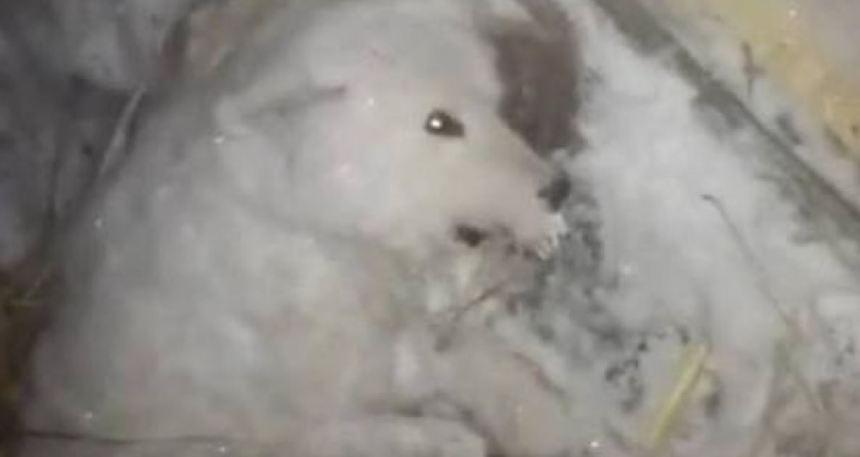 dog ice