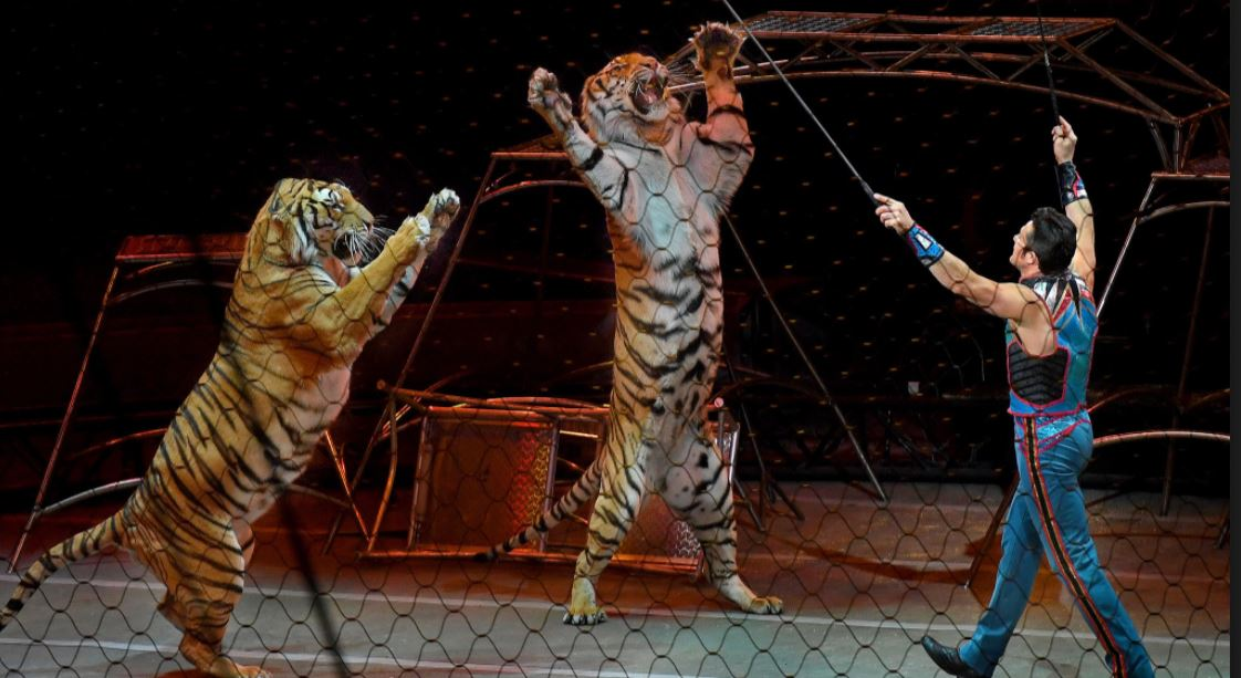 Paris: escaped circus tiger executed