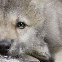 Sweden culls wolves ignoring EU laws