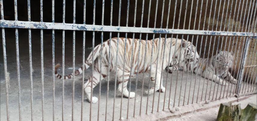 Prague tiger