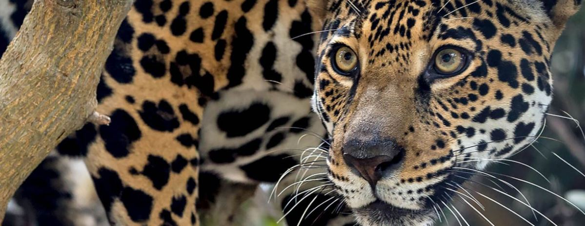 Two escaped jaguars shot dead in Greek zoo