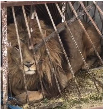 Lion frozen to death in private zoo