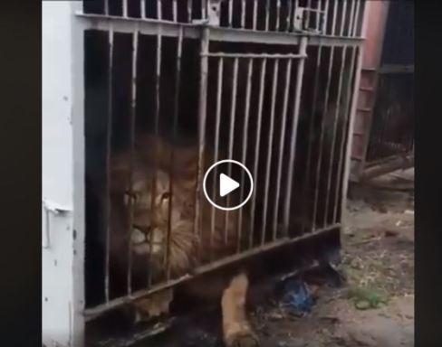 Padalko caged lion