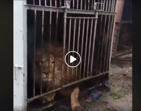 Padalko caged lion