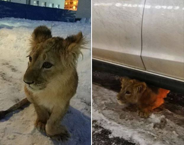 Russian owner released lion cub in streets