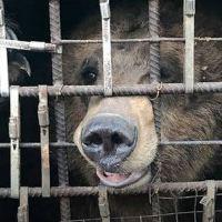 Russian circus bears permanent torture