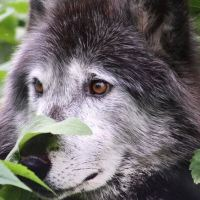 Licence to kill last wolf in Meurthe-et-Moselle