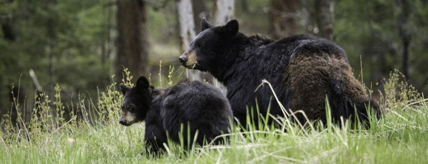 Bear with cub