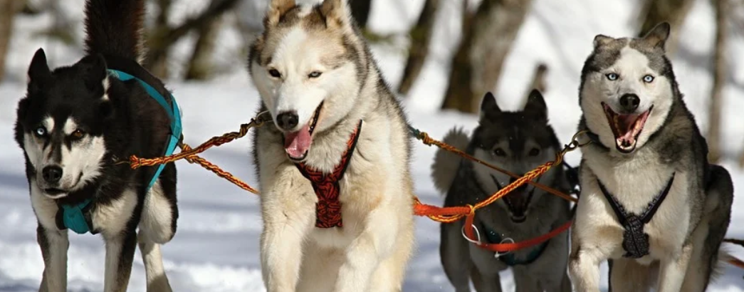 FINLAND: husky at risk of cull