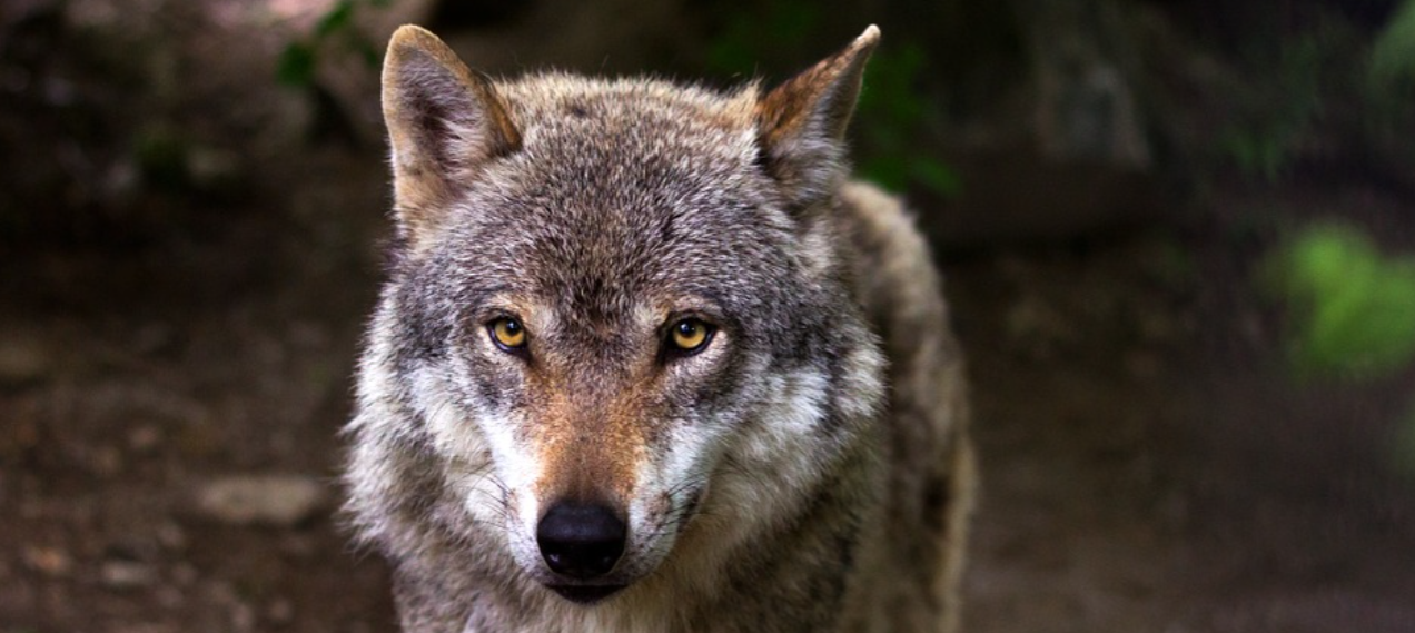 Belgium: Fourth wolf missing