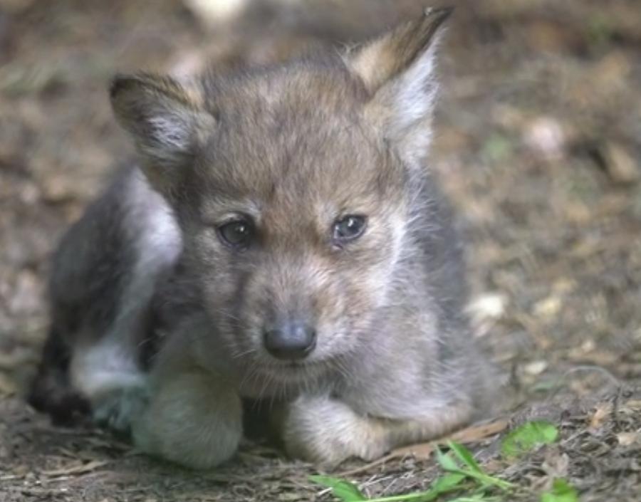 WOLF: Swiss victory of biodiversity